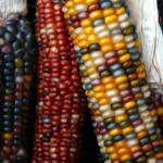 Indian Corn at the Berkeley Bowl.