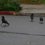 Crows walking in the fall rain.