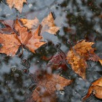 Wet leaves in puddle in fall rain.