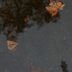 Wet leaves in in puddle in fall rain.