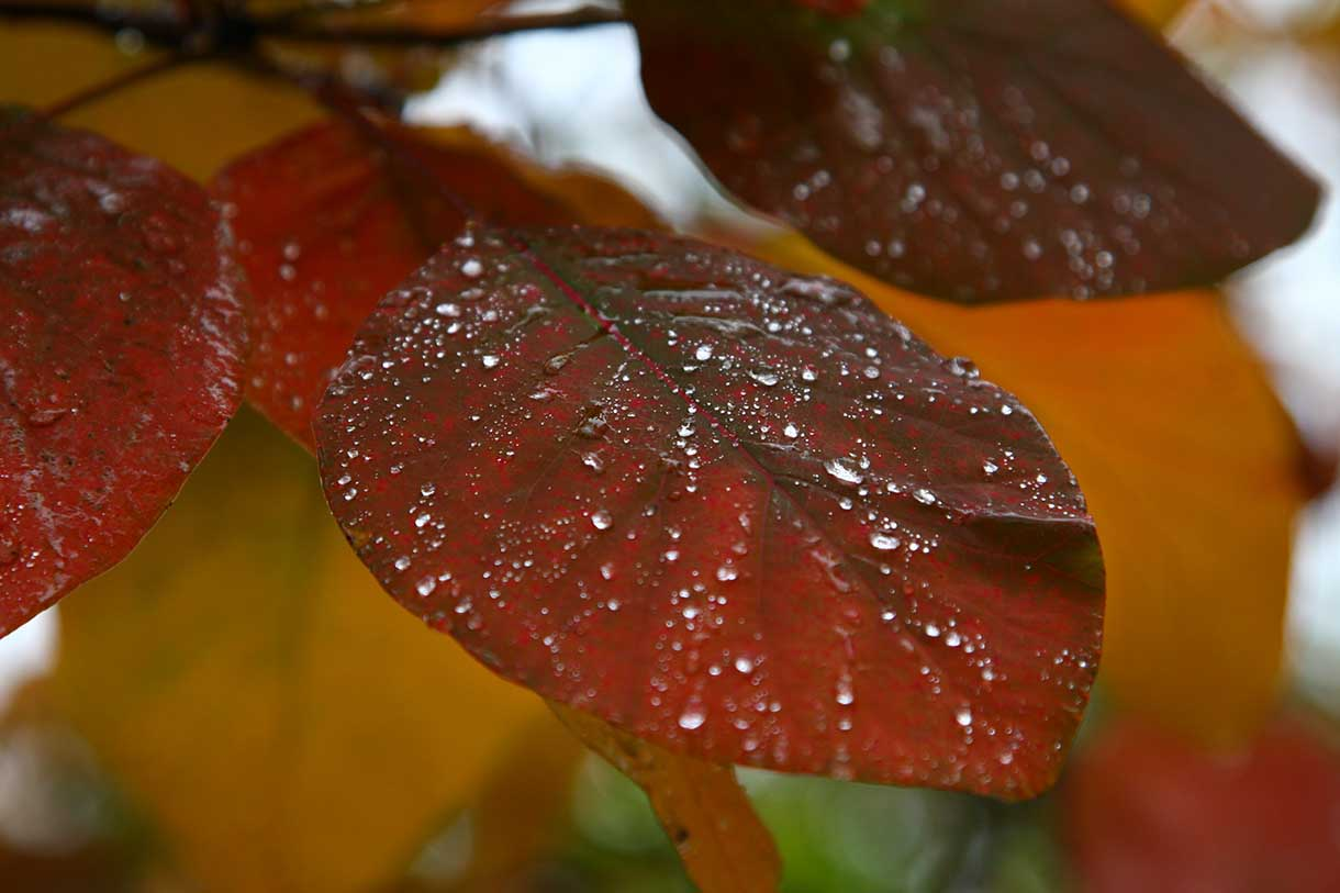 Wet leaves in fall rain.