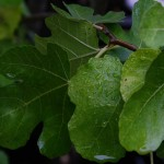 Wet Fig leaves in fall rain.
