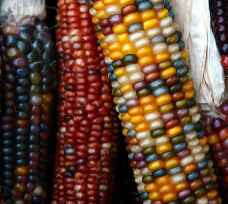 Indian Corn at the Berkeley Bowl.