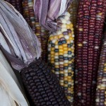 Indian corn at the market.