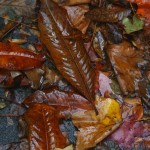 Wet leaves in a fall rain.