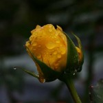 Yellow rose in fall rain.