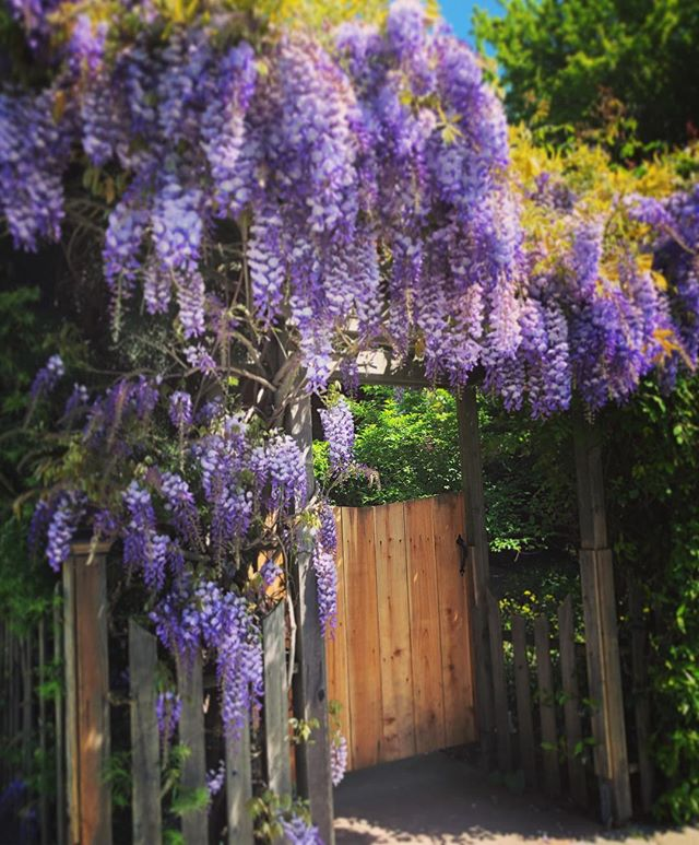 Thursday Wisteria
